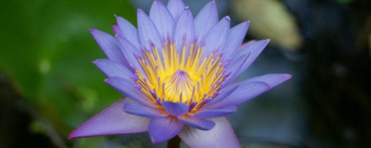 Le lotus, un trésor de spiritualité