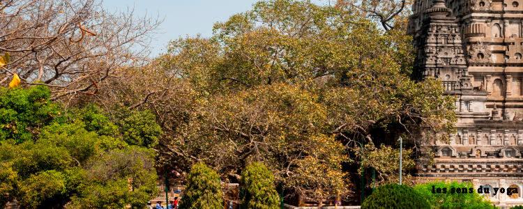 L'arbre de la Boddhi.